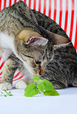 Kitten and catnip Stock Photography