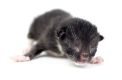 Kitten, cats 2 days old Stock Photography