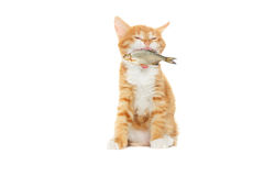 Kitten caught fish Stock Photos
