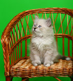 Kitten on a chair. Kitten on a chair on brightly green background Royalty Free Stock Images