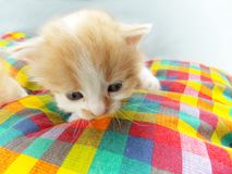 Kitten on checkered blanket Stock Photography