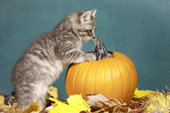 Kitten checks out pumpkin. Royalty Free Stock Images