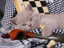Kitten with chess and pipe Stock Photo