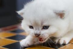 Kitten on a chessboard Stock Photo