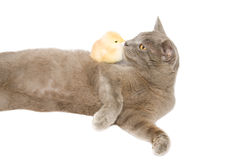A kitten and chick share a kiss. A kitten and chick share a kiss isolated on white background Royalty Free Stock Photo