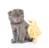 Kitten and chick sitting together. isolated on white background Royalty Free Stock Image