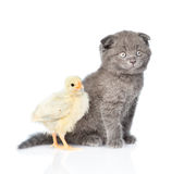 Kitten and chick sitting together in a profile.  on whit Stock Image