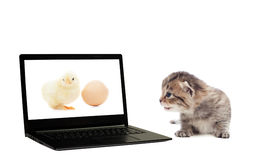 Kitten, chicken and laptop Royalty Free Stock Images