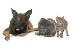 Kitten, chicken and malinois. Kitten, chicken and belgian shepherd malinois in front of white background Stock Photo