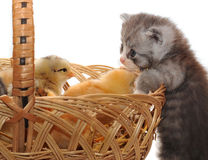 Kitten and chickens. Kitten who looks in a basket with chickens Stock Images