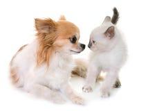 Kitten and chihuahua Stock Image