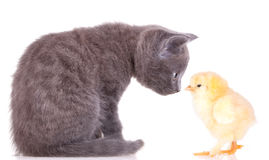 Kitten and chiken pets. Kitten and chiken, isolated on white background Stock Image