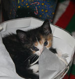 Kitten at Christmas 3 Stock Photo