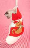Kitten in a Christmas stocking. Cute kitten sitting inside of a cat Christmas stocking with red striped background Royalty Free Stock Photos