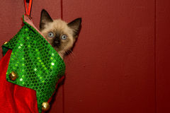 Kitten in a Christmas Stocking Stock Photography