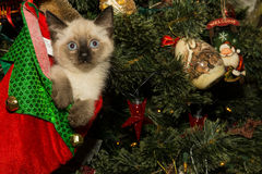 Kitten in a Christmas Stocking royalty free stock images