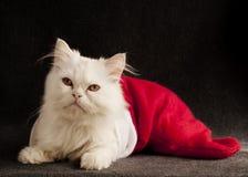 Kitten in a Christmas stocking. White Persian kitten in a Christmas stocking Royalty Free Stock Photo