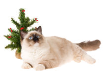 Kitten with christmas tree isolated on white. Rgdoll kitten with christmas tree isolated on white royalty free stock images