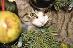 Kitten in a Christmas tree. Kitten surprise in a Christmas tree Royalty Free Stock Photography