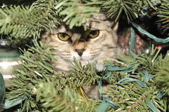 Kitten in a Christmas tree. Kitten surprise in a Christmas tree Royalty Free Stock Photo
