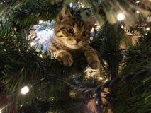 Kitten in Christmas tree. Tabby kitten in christmas tree royalty free stock photography