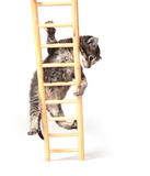 Kitten climbing ladder Royalty Free Stock Photos