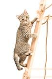Kitten climbing the stairs. Kitten Scottish Straight climbing the wooden stairs Stock Photos