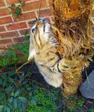 Kitten climbing a tree. Young adult Maine coon cat enjoying the experience of playing outside Royalty Free Stock Photo