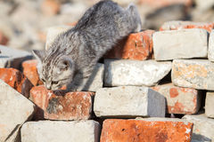 Kitten climbs bricks Stock Images