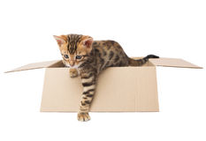 KITTEN climbs out of a cardboard box Royalty Free Stock Image