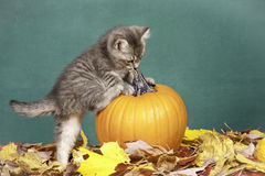 Kitten climbs on pumpkin. Royalty Free Stock Image