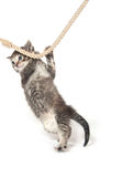 Kitten clinging to rope Royalty Free Stock Images