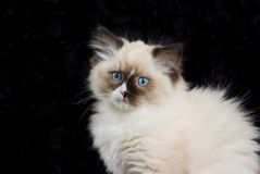 Kitten close-up on black velvet. Ragdoll kitten head shot against black velvet backdrop royalty free stock photo