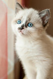 Kitten close-up indoors Royalty Free Stock Photography