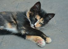 Kitten 8 Royalty Free Stock Image