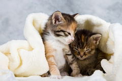 Kitten closed in towel Royalty Free Stock Photography