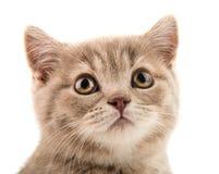 Kitten. Closeup muzzle the beautiful brown little  kitten, on white  background , isolated Royalty Free Stock Photos