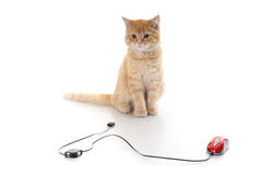 Kitten and computer mouse. Little kitten and computer mouse on a white background Royalty Free Stock Images
