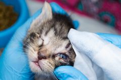 The veterinarian cleaning the kittens infected eyes with special wipes. The veterinarian cleaning the kittens infected eyes with  wipes stock photography