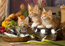 Kitten in a cook`s cap Stock Photography