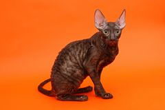 Kitten breed Cornish Rex Royalty Free Stock Images