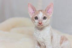 Kitten Cornish Rex. Cute plush red kitten Cornish Rex Royalty Free Stock Image