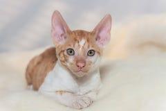 Kitten Cornish Rex. Cute plush red kitten Cornish Rex Stock Image