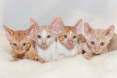 Kitten Cornish Rex. Cute plush red kitten Cornish Rex Stock Photo