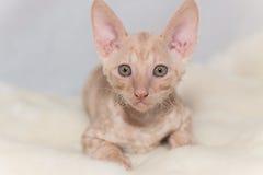 Kitten Cornish Rex. Cute plush red kitten Cornish Rex Stock Photo