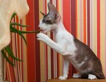 Kitten Cornish Rex eats the plant Stock Photos