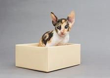 Kitten Cornish Rex en caja de regalo fotografía de archivo libre de regalías