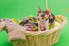 Kitten Cornish Rex en la cesta imágenes de archivo libres de regalías