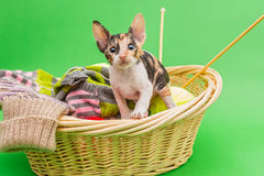 Kitten Cornish Rex i korgen Royaltyfri Foto