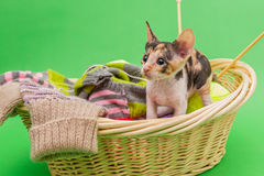 Kitten Cornish Rex i korgen Royaltyfria Bilder